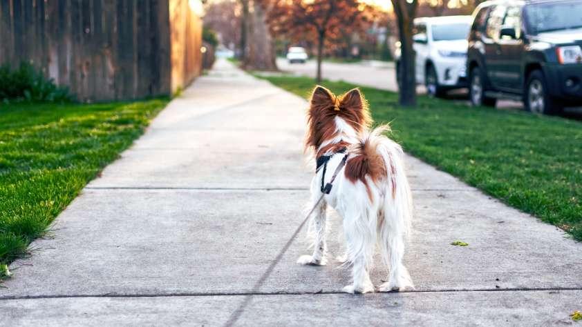 Dog Walking Austin