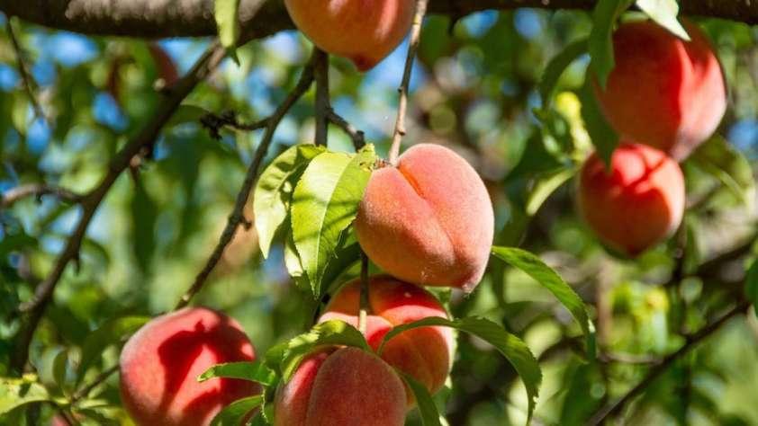orchards austin