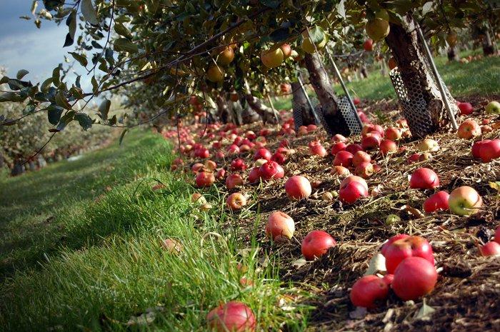21_Intro25_apples_Muhammad ali-flickr copy_0