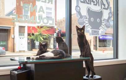 the catcade cat cafes