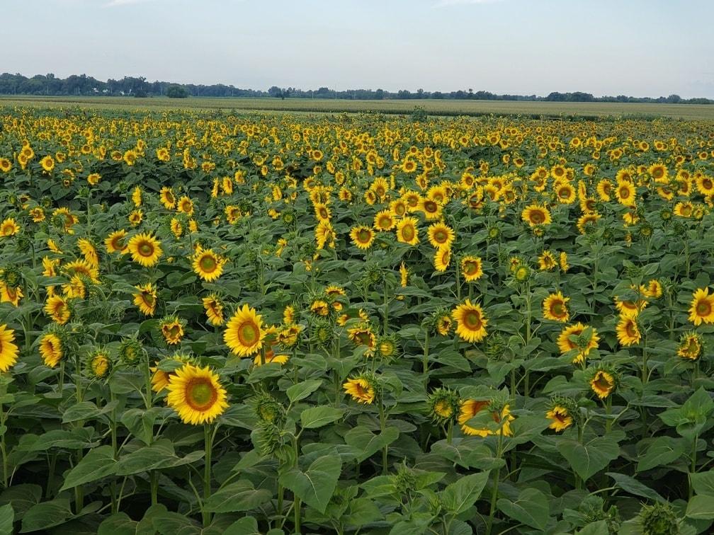 sunflower maze chicago