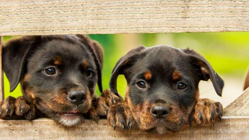 Dog Breeders Phoenix